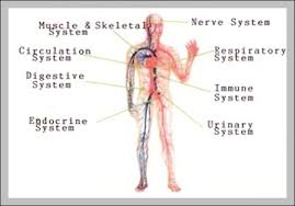 Body Systems Chart Body System Diagram Graph Diagram