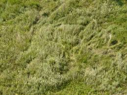 tall grass texture. Long Grass In Full Green Color And Small White Flowers. Tall Texture S
