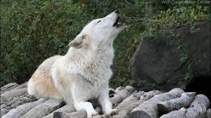 wolf howling. Fine Wolf Twenty Five Wolves Howling For Wolf YouTube
