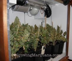 aerogarden weed harvest. wall cabinet grow room cannabis aerogarden weed harvest