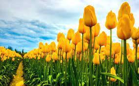 High Resolution Yellow Tulips ...