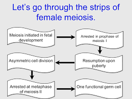 in essay format explain the function of meiosis  in essay format explain the function of meiosis