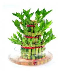 order plants online. Picture Of 3 Layers Lucky Bamboo Plant Buy Plants Online India Order D