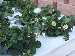 flowers on strawberry plants in a hydroponic system growing