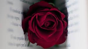 Resultado  de imagen de rosa