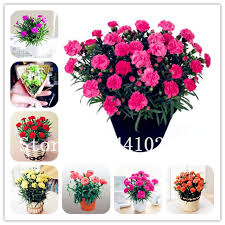 <b>New Arrival</b>! <b>50 Pcs</b> Mini Carnations Bonsai Balcony Potted Plants ...