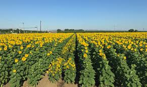 sunflowers are a potential drought resistant rotation crop in the southern california desert