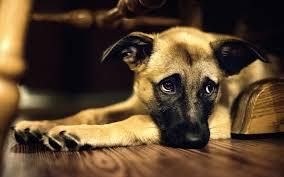 Resultado de imagen para qué perros hay que sedar con fármacos sedantes