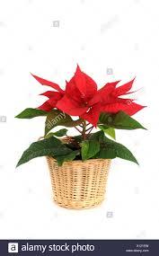 Weihnachtsstern Poinsettia Stock Photo 276025649 Alamy