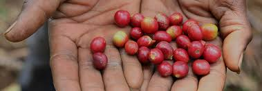 Crs Works With Congolese Coffee Farmers Now Selling To