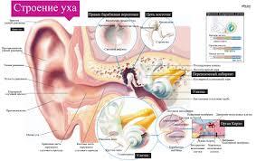 органа слуха Строение органа слуха