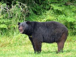 photo essay wildlife in western off track travel black bear courtenay