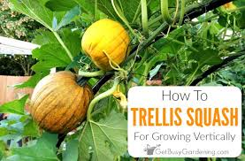 trellising squash how to grow squash vertically