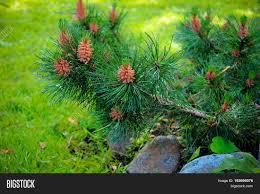 cedar branch with cones in the garden pine tree garden care for evergreen garden