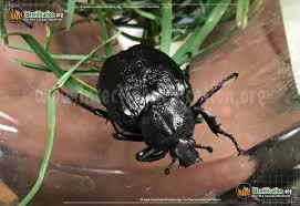 Black Beetle Identification Chart North American Beetles