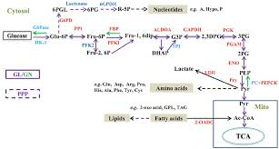 Carbohydrate Metabolism Chart Schematic Diagram Showing The Carbohydrate Metabolic