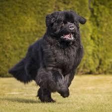 boatswain dog. newfoundland boatswain dog