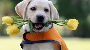 lab puppy wallpapers. Unique Puppy Preview Wallpaper Labrador Puppy Flower Vest And Lab Puppy Wallpapers A