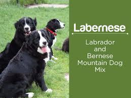 bernese mountain dog mix. Brilliant Mountain Labernese  For Bernese Mountain Dog Mix N