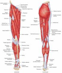 Diagrams Of Muscles Of Lower Limb Muscles Of Lower Limb
