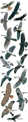 Very Nice Raptor Chart With Great Tail Detail Insects Etc