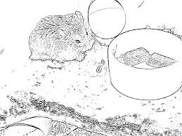 Index Of Mainhamster Coloriage