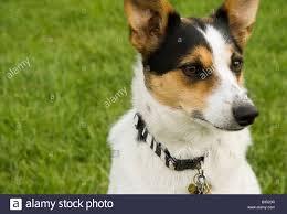 pet rat terrier dog Stock Photo ...
