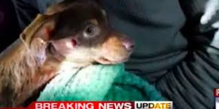 Animal Cop Petition Justice For Reeses The Tiny Chihuahua