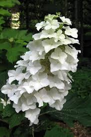 oakleaf hydrangea quercifolia