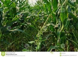 Spiny Pigweed Spiny Amaranth Or Spiny Pigweed Broadleaves Weed Stock Image