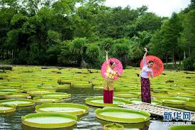 best time to view giant water lilies in xishaungbanna