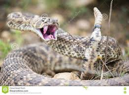 rattlesnake strike pose. Modren Rattlesnake Western Diamond Back Ready To Strike With Rattlesnake Strike Pose