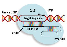 Genome Editing Mobitec Crispr Cas9 Genome Editing Transfection Methods From Mirus