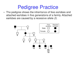 Pedigree Chart For Free Or Attached Earlobes Human Genetics Ppt Download