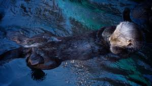 the fantastic fur of sea otters pbs and the bbc present 8216 big blue live 8217 kqed science