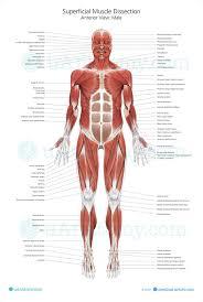 Human Muscle Anatomy Chart Human Muscle Anatomy Poster