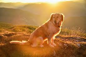Golden Retriever Dog Breed Information Pictures