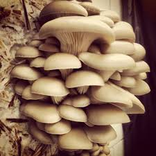 Image result for mushroom cultivation image