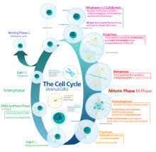 cell cycle  animal cell cycle