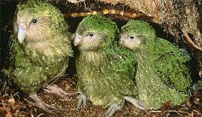 Image result for flightless parrot found in new zealand