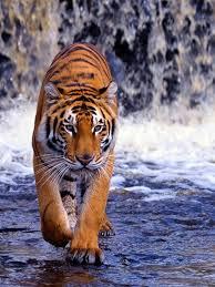 Tiger Wallpaper HD Download [1914x1046 ...