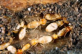 Image result for termite service