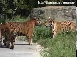 siberian tiger vs bengal tiger. Interesting Siberian Animal FaceOff  Siberian Amur Tiger Vs Bengal On Vs