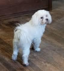 my name is jasper malti poo puppy