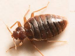 Size Of Bed Bugs Chart Bed Bug Bites Pictures Treatment And Prevention