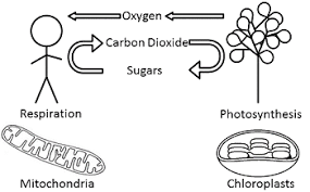 Concept Map   Cellular Respiration further  in addition photosynthesis and cellular respiration worksheet answer key further Concept Map – Photosynthesis and Cellular Respiration as well Nail  Kasey   7th Grade Assignments additionally  besides Photosynthesis And Cellular Respiration Worksheet   Accafkenya org also ATP  Photosynthesis and Cellular Respiration Web quest   ppt video furthermore Biology   Unit 3 Photosynthesis and Cellular Respiration together with Unit 4 – Cell Energetics Exploration and Introduction to further . on photosynthesis and cellular respiration worksheet