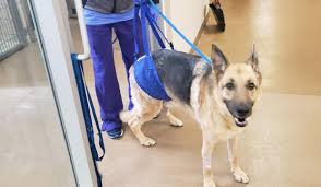 Tplo Surgery For Ccl Tears The Dog Owners Guide Ovrs