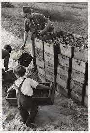 file arthur rothstein american child labor  file arthur rothstein american 1915 1985 child labor cranberry