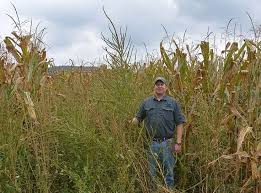 Palmer Amaranth Growers Cautioned To Be On The Lookout For Invasive Pigweeds Penn