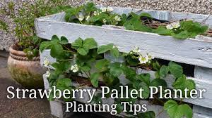 how to plant a diy strawberry pallet planter